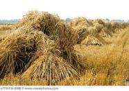 wheat - sheaves