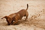 digging dog3