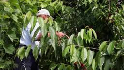man picking cherries